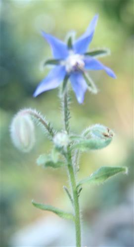 Blüte des Borretschs(Borago officinalis(L.))