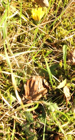 Herbst-Löwenzahn(Scorzoneroides autumnalis(L.)Moench)