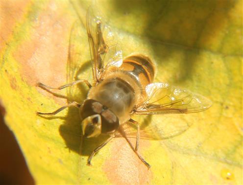 Gemeine Keilfleckschwebfliege(Eristalis pertinax) im Herbst