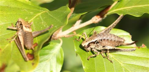 Gemeine Strauchschrecke(Pholidoptera griseoaptera(De Geer 1773))(links männlich; rechts weiblich) bei einem