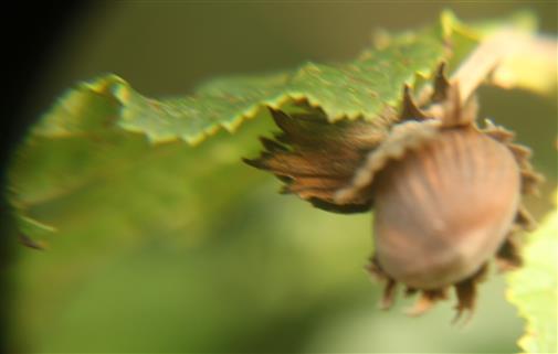 Nuss der Gemeinen Hasel(Corylus avellana(L.))