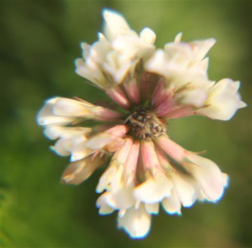 Schweden-Klee(Trifolium hybridum(L.))