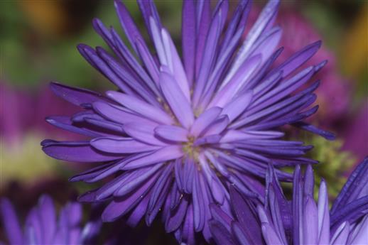 Blaue Herbstastern(Aster(L.))