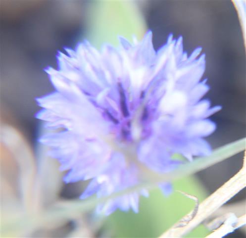 Blüte einer Kornblume(Centaurea cyanus(L.))