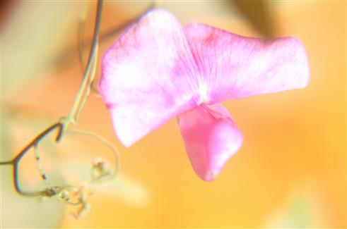 Blüte der Breitblättrigen Platterbse(Lathyrus latifolius(L.))