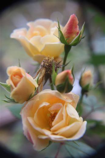 Rosen(gelb - rötlich) vor dem ersten Bodenfrost