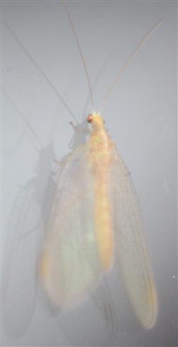 Gemeine Florfliege(Chrysoperla carnea(Stephens 1836))