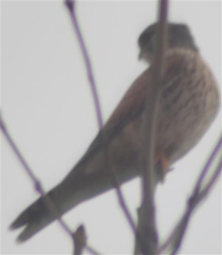 Turmfalke(Falco tinnunculus(L. 1758)) am Straßenrand südlich von Hirzenhain Bahnhof