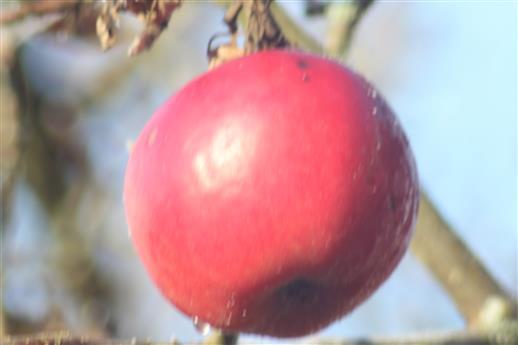 (Herbst- und) Winterapfel(Dezember 2016)