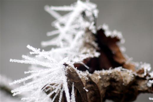 Raureifkristalle an einem vertrocknetem Laubblatt