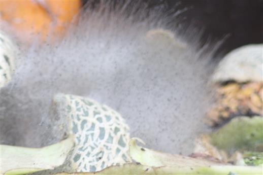 Saprophytische Pilze beim Abbau von Melonenschalen(Komposthaufen)