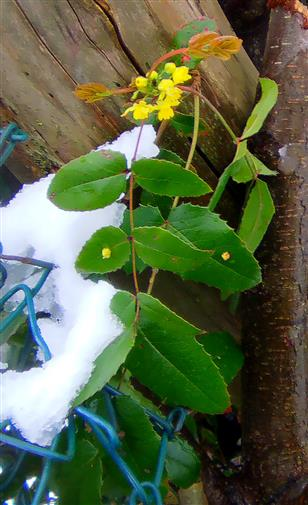 Gewöhnliche Mahonie(Mahonia aquifolium(Nutt.)) im Schnee
