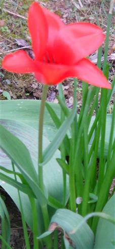 Rote Tulpe(Tulipa(L.))