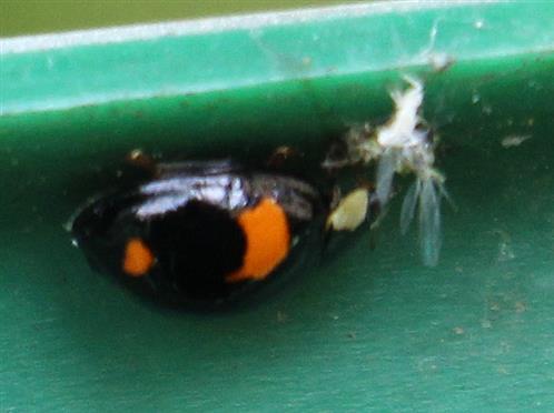 Asiatischer Marienkäfer(Harmonia axyridis(Pallas 1771)) mit einer Blattlaus als Beute