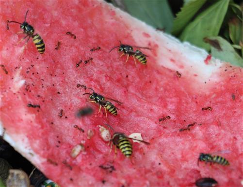 Gemeine Wespe(Vespula vulgaris(L. 1758)) auf einer Schale einer Wassermelone
