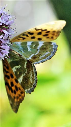 Kaisermantel(Argynnis paphia(L. 1758)) 03