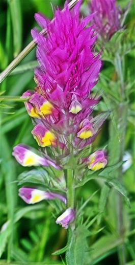 Acker-Wachtelweizen(Melampyrum arvense(L.))