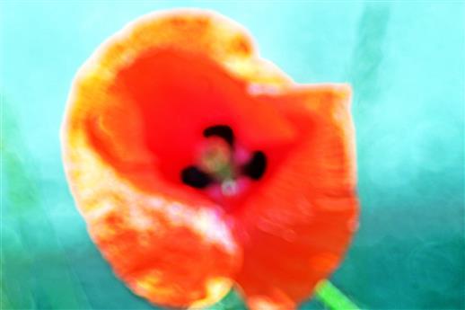 Blüte eines Klatschmohn(Papaver rhoeas(L.))