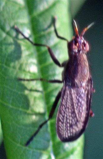 Melierte Schneckenfliege(Coremacera marginata(Fabricius 1775))
