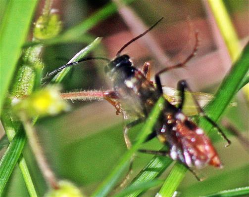 Schlupfwespe(Ichneumonidae Cryptinae Cryptini)