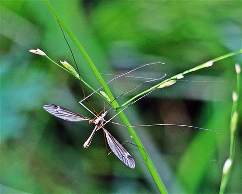(Tipula lateralis(Meigen 1830))