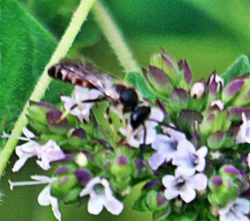 Furchenbiene (Lasioglossum calceatum(Scopoli 1763))