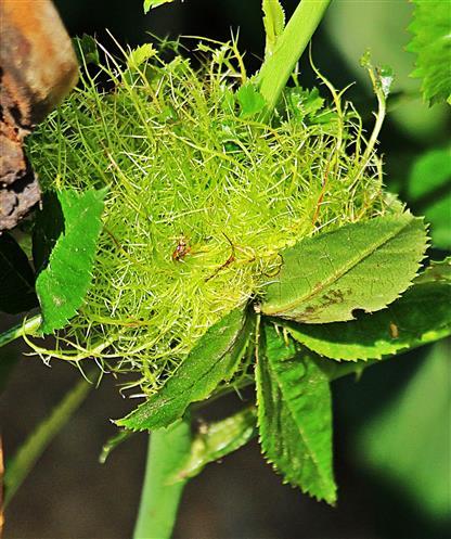 Schlafapfel der Schlafapfel-Gallwespe oder Gemeinen Rosengallwespe(Diplolepis rosae(L. 1758))