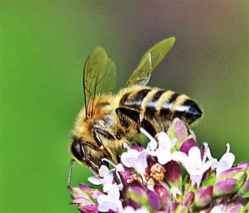 Westliche oder Europäische Honigbiene(Apis mellifera(L. 1758))