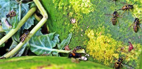 Gemeine Wespe(Vespula vulgaris(L. 1758)) auf Kompost