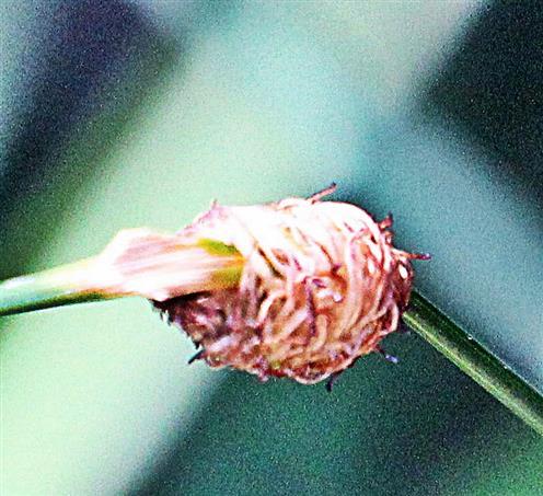 Gespinst, Kokon eines Kleinschmetterlings an einem Grashalm(Festuca)