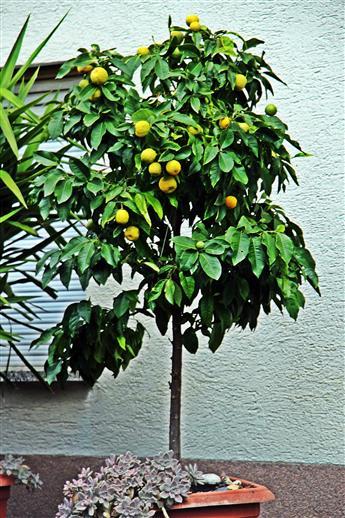 Mandarinenbäumchen(Citrus reticulata(Blanco))