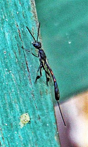Schmalbauch- oder Gichtwespe(Gasteruption assectator(L. 1758)) weiblich