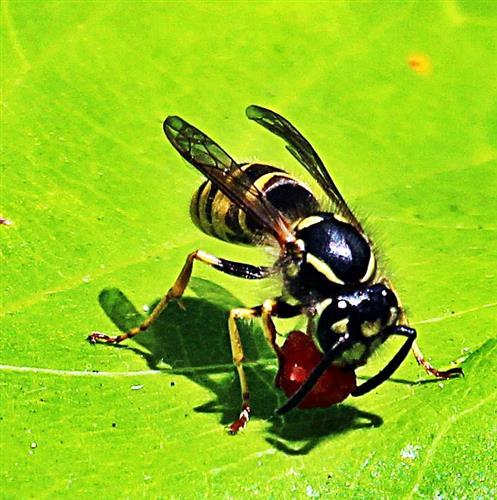 Gemeine Wespe(Vespula vulgaris(L. 1758)) ein Stückchen Frucht(Wassermelone) fressend