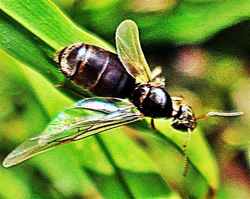 Jungkönigin der schwarzen Wegameise(Lasius niger(L. 1758))