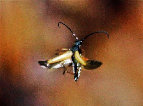 Gemeiner oder Rothalsbock(Strictoleptura rubra(L. 1758)) männlich im Flug