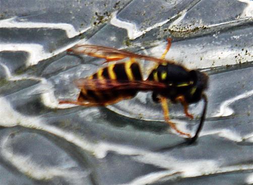 Gemeine Wespe(Vespula vulgaris(L. 1758))