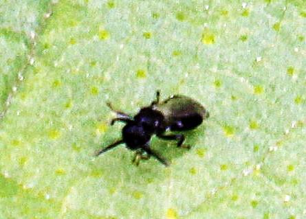 Erzwespe(Scelionidae oder Pteromalidae)
