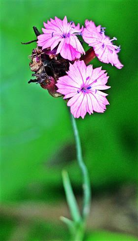 Karthäuser Nelke(Dianthus carthusianorum(L.))
