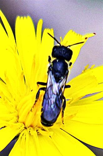Gemeine Löcherbiene(Heriades truncorum(L. 1758))