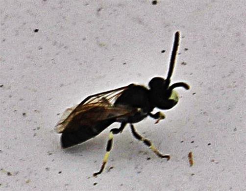 Maskenbiene(Hylaeus pectoralis(Förster 1871))