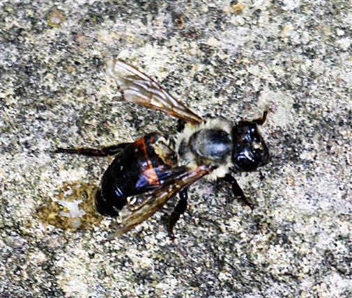 Durchnässte Westliche Honigbiene(Apis mellifera(L. 1758)) gewissermaßen auch als