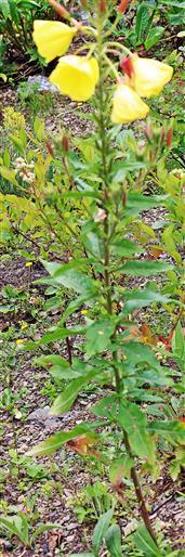 Gemeine oder Gewöhnliche Nachtkerze(Oenothera biennis(L.))
