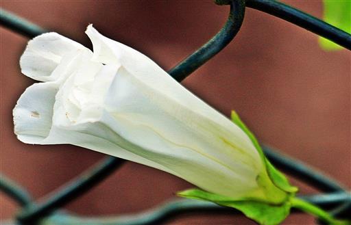 Geschlossene Blüte der Echten Zaunwinde(Calystegia sepium(L.)R.Br.)