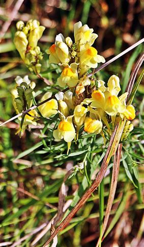 Echtes Leinkraut(Linum vulgaris(MiLL.))