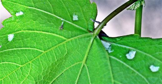 Leichter Befall der Rebenpockenmilbe(Eriophyes vitis(Pagenstecher 1857)) auf Weinblättern(Blattunterseite)