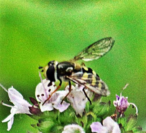 Gemeine Feldschwebfliege(Eupeodes corollae(Fabricius 1794)) beim Blütenbesuch