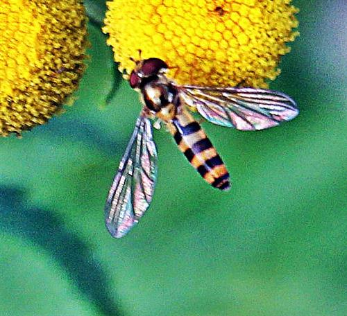 Gemeine Stiftschwebfliege(Sphaerophoria scripta(L. 1758)) beim Blütenbesuch