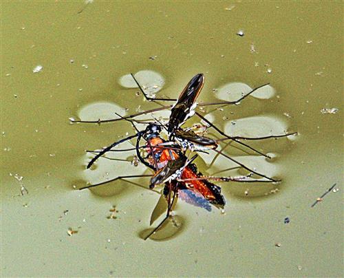 Gemeiner Wasserläufer(Gerris lacustris(L 1758)) über seine Beute(Gemeiner oder Rothalsbock(Stictoleptura rubra(L. 1758))(weiblich))