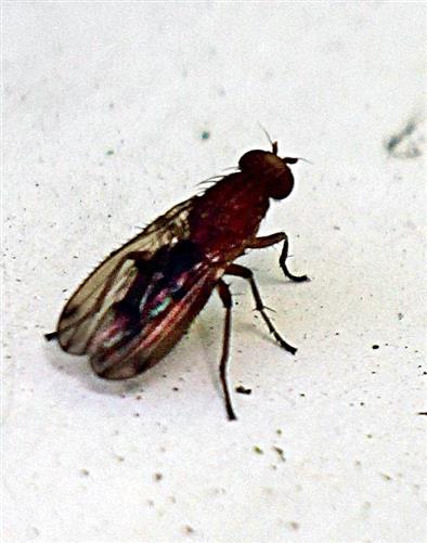 Hornfliege(Elgiva cucularia)