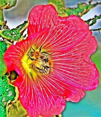 Ackerhummeln(Bombus pascuorum(Scopoli 1763)) in einer Blüte einer Gewöhnlichen Stockmalve(Alcea rosea(L.))